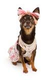 klätt rosa nätt för bowchihuahua hund royaltyfri fotografi
