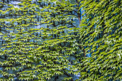 Klättra den gröna växten Arkivbilder