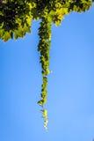 Klättra den gröna växten arkivbild