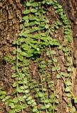 Klättra leaves royaltyfria foton