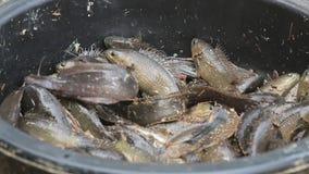 Klättra sittpinnesötvattenfisken lager videofilmer