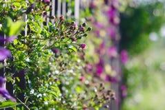 klättra staketblommor Royaltyfria Bilder