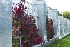 Klättra växten för staket Royaltyfria Foton
