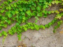 Klättra växten mot den gamla väggen Arkivfoto