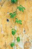 Klättra växten och den gamla gula murbrukväggen royaltyfria bilder