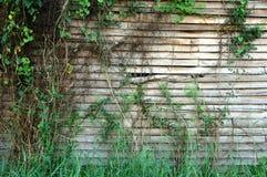 klättra växten på den gamla träväggen Arkivfoto