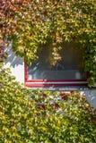 Klättra växten på ett fönster fotografering för bildbyråer