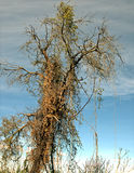 Klättra växten på träd Arkivfoto