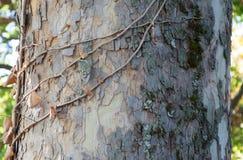 Klättra växten som förvecklas i ett träd arkivbilder