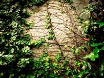 Klättra växten som isoleras på väggbakgrund Arkivfoton