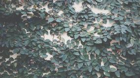 Klättra växter Arkivbilder