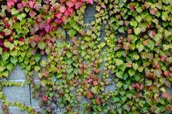 Klättra växter Fotografering för Bildbyråer