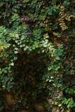 Klättra växter Royaltyfria Foton