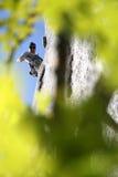 klättrarerocktrees Royaltyfria Foton