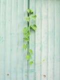 Klättrareväxt på väggen för zincemetallplatta Arkivfoton