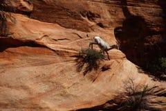 Klättring för Rocky Mountain får (Oviscanadensis) Arkivfoton