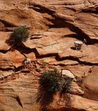 Klättring för Rocky Mountain får (Oviscanadensis) Arkivbilder