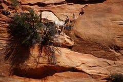 Klättring för Rocky Mountain får (Oviscanadensis) Royaltyfria Bilder