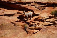 Klättring för Rocky Mountain får (Oviscanadensis) Royaltyfri Fotografi