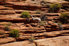 Klättring för Rocky Mountain får (Oviscanadensis) Arkivfoto