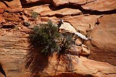 Klättring för Rocky Mountain får (Oviscanadensis) Arkivbild