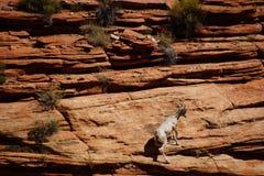 Klättring för Rocky Mountain får (Oviscanadensis) Royaltyfri Bild