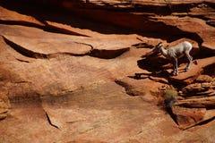 Klättring för Rocky Mountain får (Oviscanadensis) Royaltyfria Foton