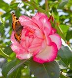 Klättring Rose Harlequin och fjäril. Arkivbilder