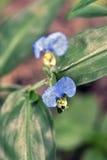 Klättringdayflower på grön bakgrund Arkivfoton