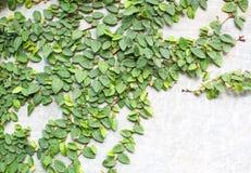 Klättringfikonträd Royaltyfria Foton