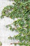 Klättringfikonträd Arkivbilder