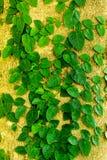 Klättringfikonträd Royaltyfri Bild