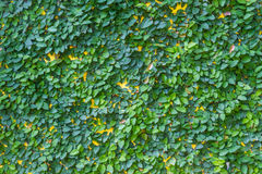 Klättringfikonträd på väggen. Fotografering för Bildbyråer