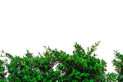Klättringfikonträd på väggen Fotografering för Bildbyråer