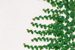 Klättringfikonträd på väggen Royaltyfria Bilder