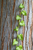 klättringliana till treen Royaltyfri Foto