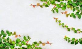 klättringmurgröna Arkivfoto