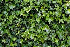 klättringmurgröna Royaltyfria Foton