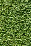 klättringmurgröna Arkivfoton