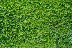 Klättringmurgrönabakgrund Royaltyfria Bilder