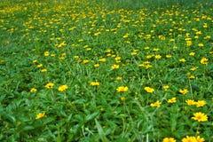KlättringWedelia blomma Fotografering för Bildbyråer