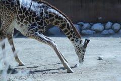 Klęczenie żyrafa Zdjęcia Royalty Free