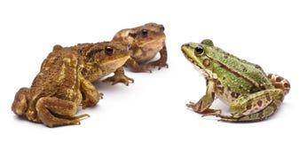 公用可食的欧洲青蛙kl蛙属 免版税库存图片