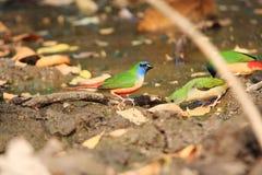 Kl?mma xxxx_852-tailed Parrotfinch royaltyfri bild