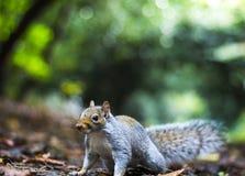 Klaar aan eekhoorn Stock Foto