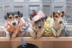 Klaar voor de partij - drie Jack Russell-honden stock foto's