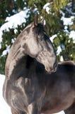 Kladruber black horse portrait in winter. Black Kladruber horse portrait in winter, sunny day Stock Photo