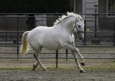 Kladruber horse galloping. White Kladruber horse galloping in agricultural area closed with metal fencing, dark background Stock Photo