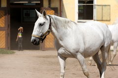 Kladruber, paard Oldkladruby Stock Foto's