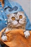 Klaff-öra precis tvättad edkatt med brett öppnade ögon royaltyfria foton
